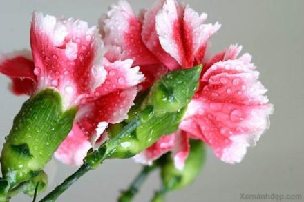 uyenshop - hoa-cam-chuong