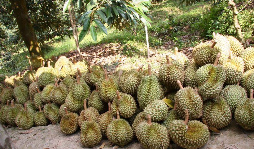 Bạn đang hiếm muộn? Hãy ăn sầu riêng