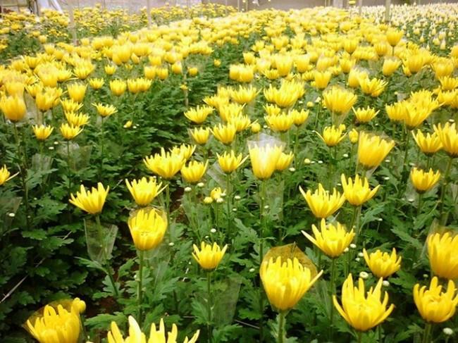 cac moi ban buon hoa va kinh nghiem ban hoa tet co lai 6 650x487 Mách bạn các mối bán buôn hoa và kinh nghiệm bán hoa tết có lãi